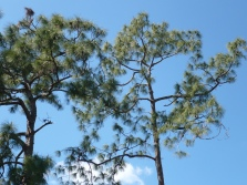 pine and cypress against blue sky