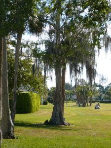 Pine and cypress on golf course