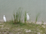 Egrets at the pond.