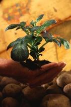 k5454-17 Potato Plant