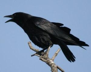 blackbird-amcr7