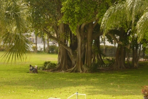 Beautiful banyan trees all around the property.